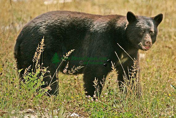 Black Bear, British Columbia, Canada CM11-52