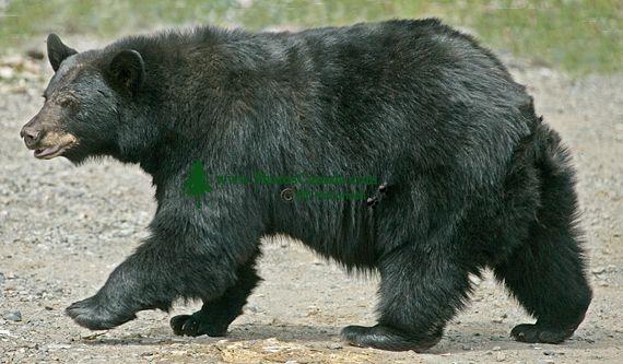Black Bear, British Columbia, Canada CM11-51
