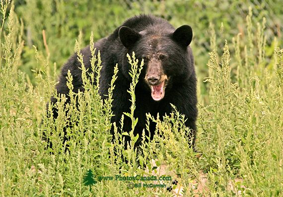 Black Bear, British Columbia, Canada CM11-50