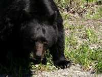 Black Bear CM11-14