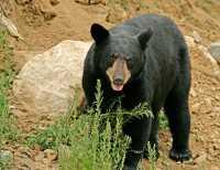 Black Bear, British Columbia, Canada CM11-49