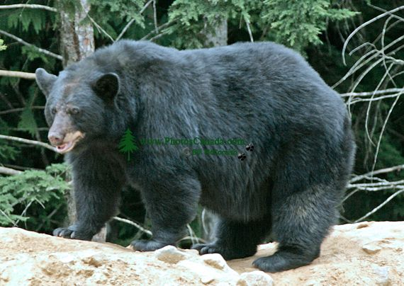 Black Bear, British Columbia, Canada CM11-48