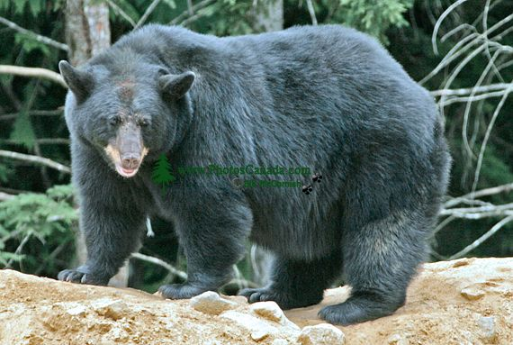 Black Bear, British Columbia, Canada CM11-47