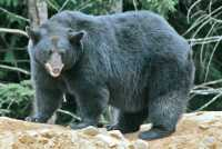 Black Bear, British Columbia, Canada CM11-47