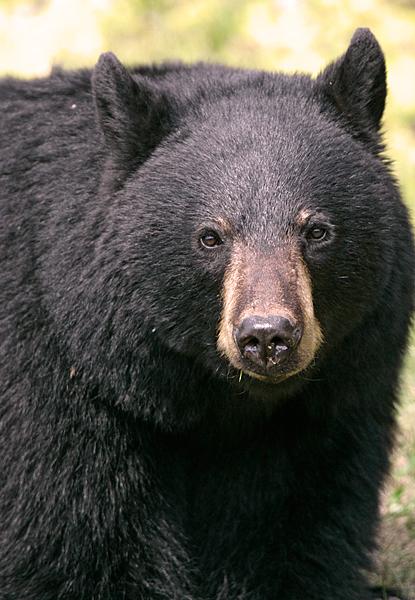 Black Bear CM11-72
