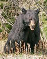Black Bear CM11-71