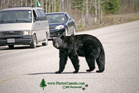Black Bear, Jasper National Park, Canada CM11-70