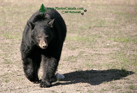 Black Bear, British Columbia, Canada CM11-69
