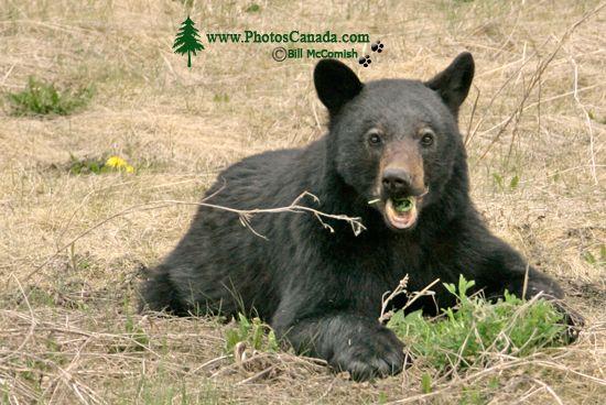 Black Bear Cub, British Columbia, Canada CM11-68