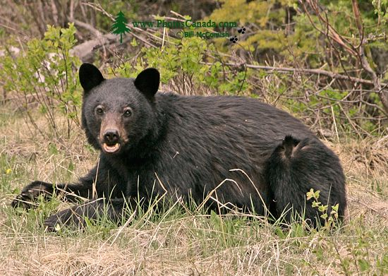 Black Bear, British Columbia, Canada CM11-67