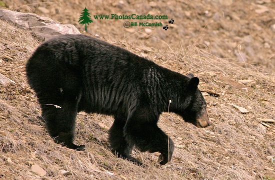 Black Bear, British Columbia, Canada CM11-66