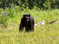 Black Bear 21