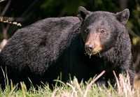 Black Bear CM11-74