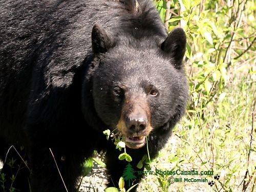 Black Bear CM11-13