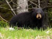 Black Bear 20