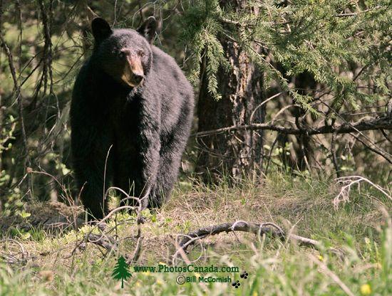 Black Bear, British Columbia, Canada CM11-65