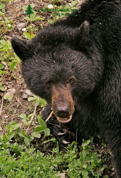 Black Bear CM11-73