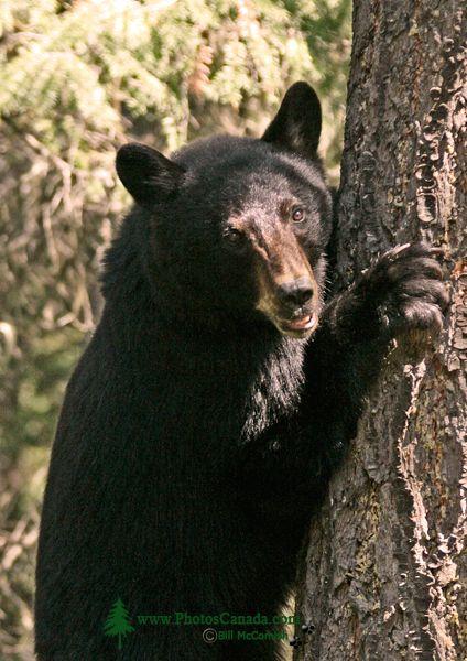 Black Bear in Tree, British Columbia, Canada CM11-64