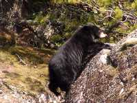 Black Bear 18