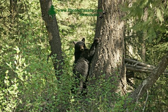 Black Bear in Tree, British Columbia, Canada CM11-63