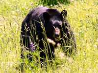 Black Bear 17