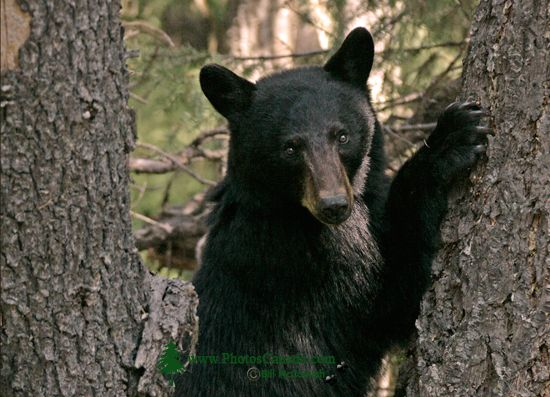 Black Bear in Tree, British Columbia, Canada CM11-62