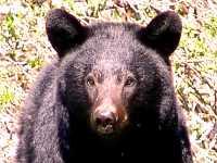 Black Bear 16