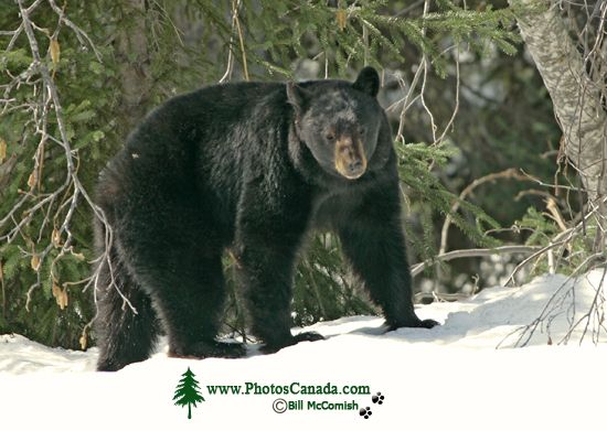 Black Bear in Snow, Northern British Columbia, Canada CM11-61