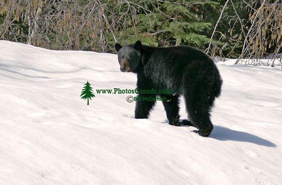 Black Bear, Northern British Columbia, Canada CM11-60