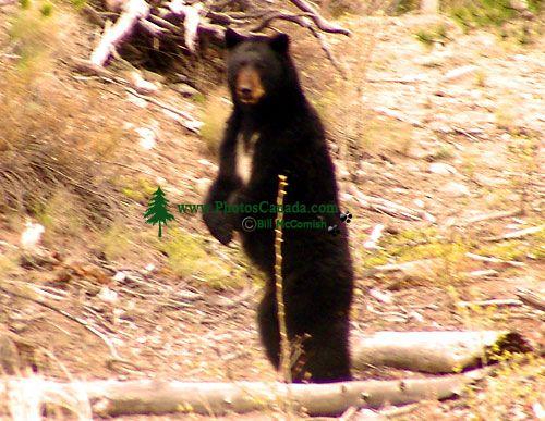 Black Bear 09