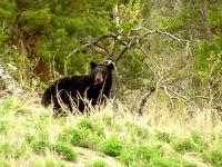 Black Bear 07