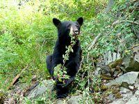 Black Bear 10