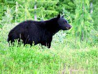 Black Bear 08