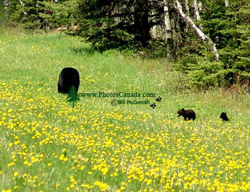 Black Bear Family 11