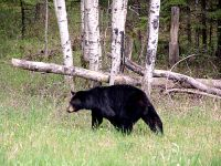 Black Bear 06