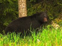 Black Bear 05