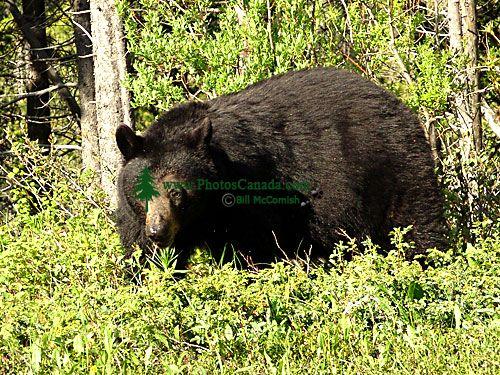 Black Bear 04