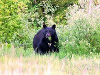 Black Bear 02