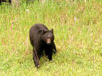 Black Bear 01