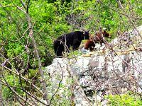 Black Bear and Brown Cub 12