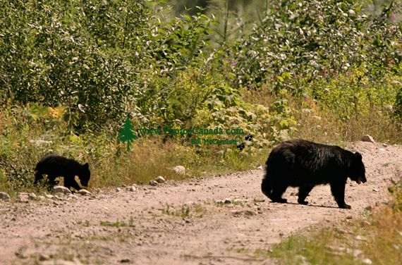 Black Bear and Cub, British Columbia, Canada CM11-27