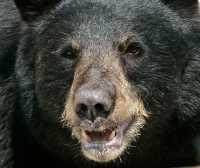 Black Bear, British Columbia, Canada CM11-45
