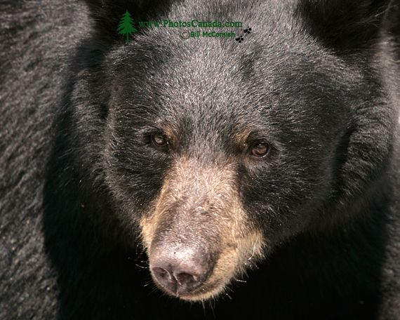 Black Bear, British Columbia, Canada CM11-44
