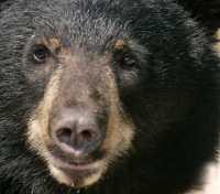 Black Bear, British Columbia, Canada CM11-43