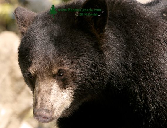 Black Bear, British Columbia, Canada CM11-42