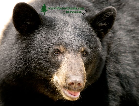 Black Bear, British Columbia, Canada CM11-41