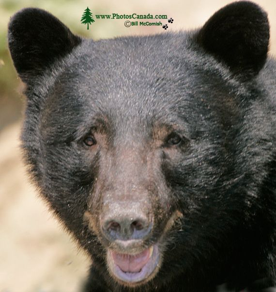 Black Bear, British Columbia, Canada CM11-40