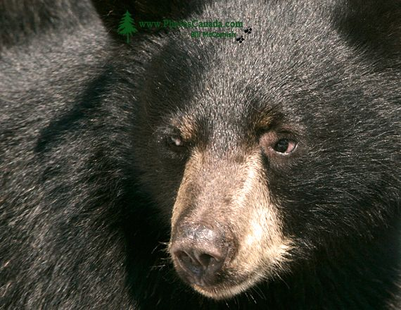 Black Bear, British Columbia, Canada CM11-39