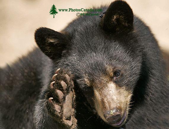 Black Bear, British Columbia, Canada CM11-35
