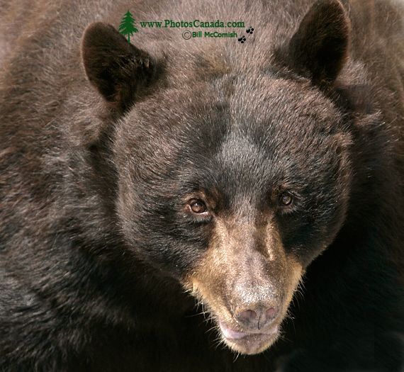 Black Bear, British Columbia, Canada CM11-34